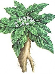 mandragora.officinarum